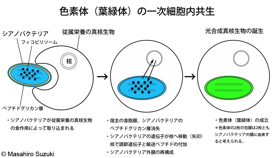 細胞小器官 ミドリムシ ひらめき☆ときめきサイエンス 実験の様子