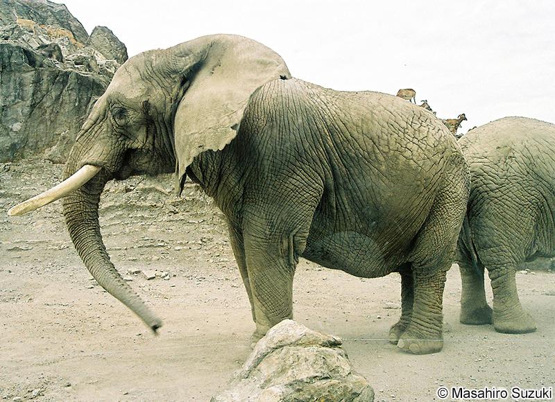 アフリカゾウの画像 p1_15