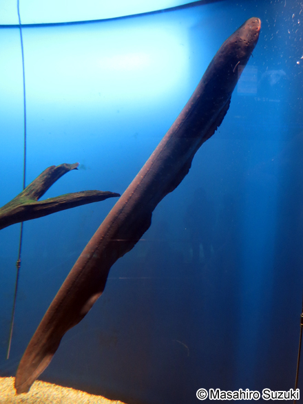 デンキウナギの画像 p1_20