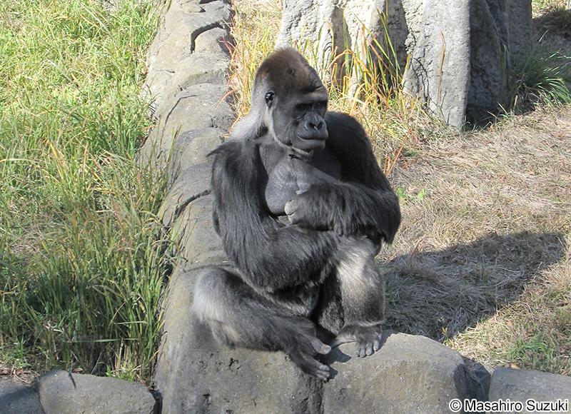 ニシゴリラ Gorilla gorilla
