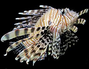 カサゴ亜目 Suborder Scorpaenoidei