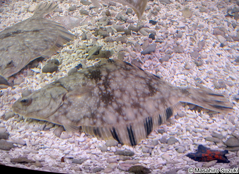 ヌマガレイ Platichthys stellat...