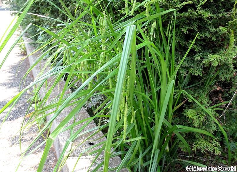アゼナルコ Carex dimorpholepis