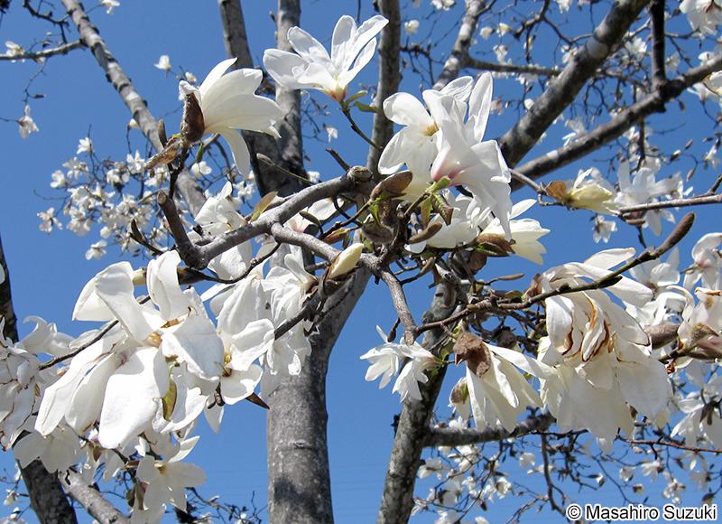 コブシ Magnolia kobus