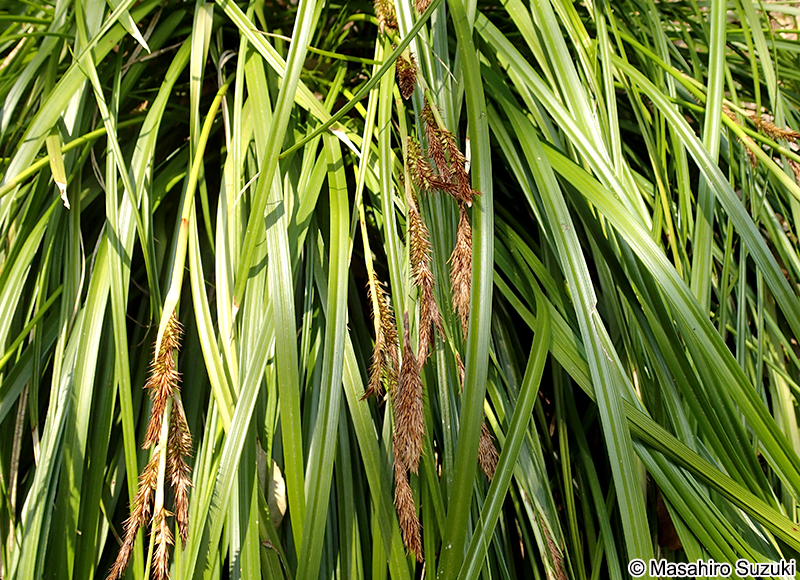 オオシマカンスゲ Carex oshimen...